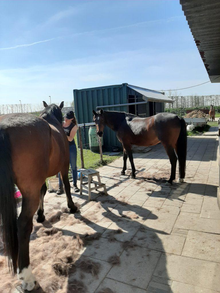 Stage-lopen-stal-schouten-opleiding-paardenhouderij-dierenverzorging-meeloopstage-meewerkstage-afstudeerstage
